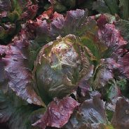 Lettuce Marvel of Four seasons 2000 seeds / 6000 seeds